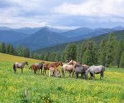 Табун лошадей в горах