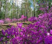 Багульник (болотное растение)