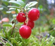 Ягоды брусники. Брусника (болотное растение)