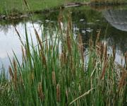 Осока (болотное растение)