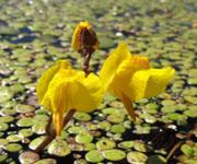 Пузырчатка (болотное растение)