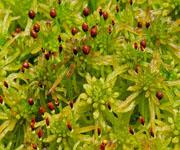 Мох сфагнум (болотное растение)