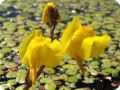 Цветки плотоядного растения - пузырчатки обыкновенной.