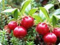 Растения болот - ягоды клюквы.