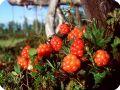 Растения болот - ягоды морошки.