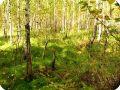 Заболоченный лес в Бутаково.