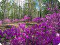 Растения болот - заросли багульника.